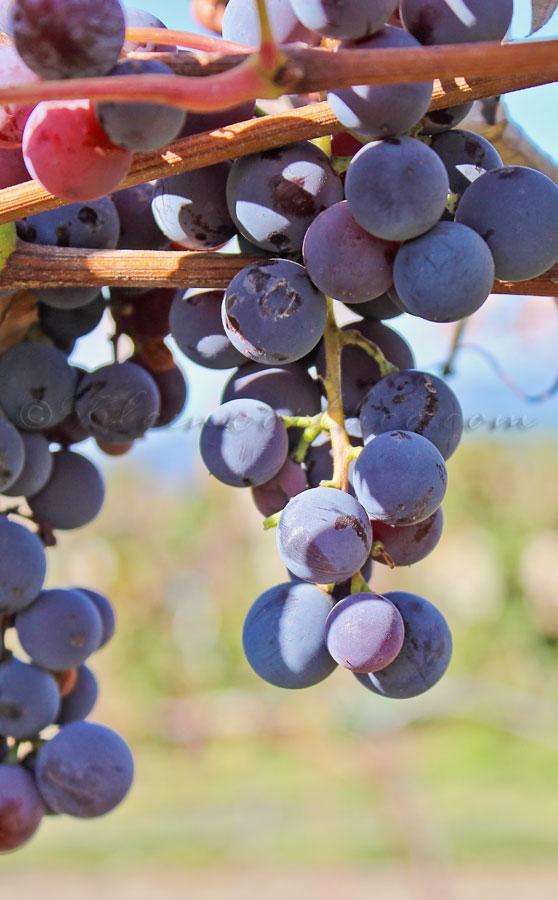 Concord Grape Spread