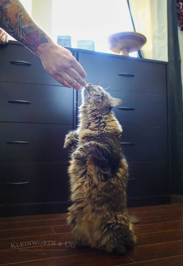 Begging - Caring for Cats : How to Spoil a Cat
